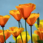 Californian Poppy - Eschscholzia - 300 seeds - 600 seeds